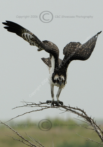Osprey Ready for Flight