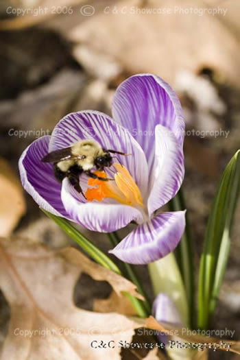 Crocus & Bee