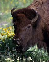 Bison with Flowers